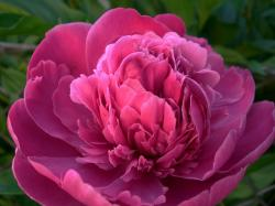 Peonies Flower (Meaning, Varieties & Facts)