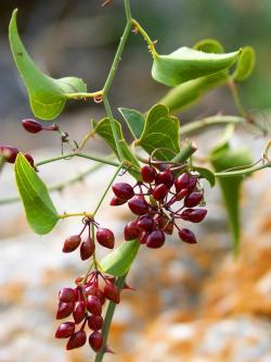 9 Health Benefits of Sarsaparilla