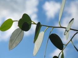 10 Health Benefits of Eucalyptus