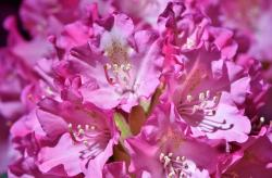Rhododendron Flower (Meaning, Varieties & Facts)