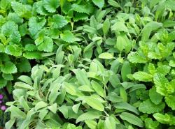 9 Health Benefits of Sage