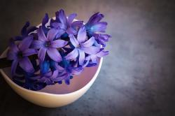 Hyacinth Flower (Meaning, Varieties & Facts)