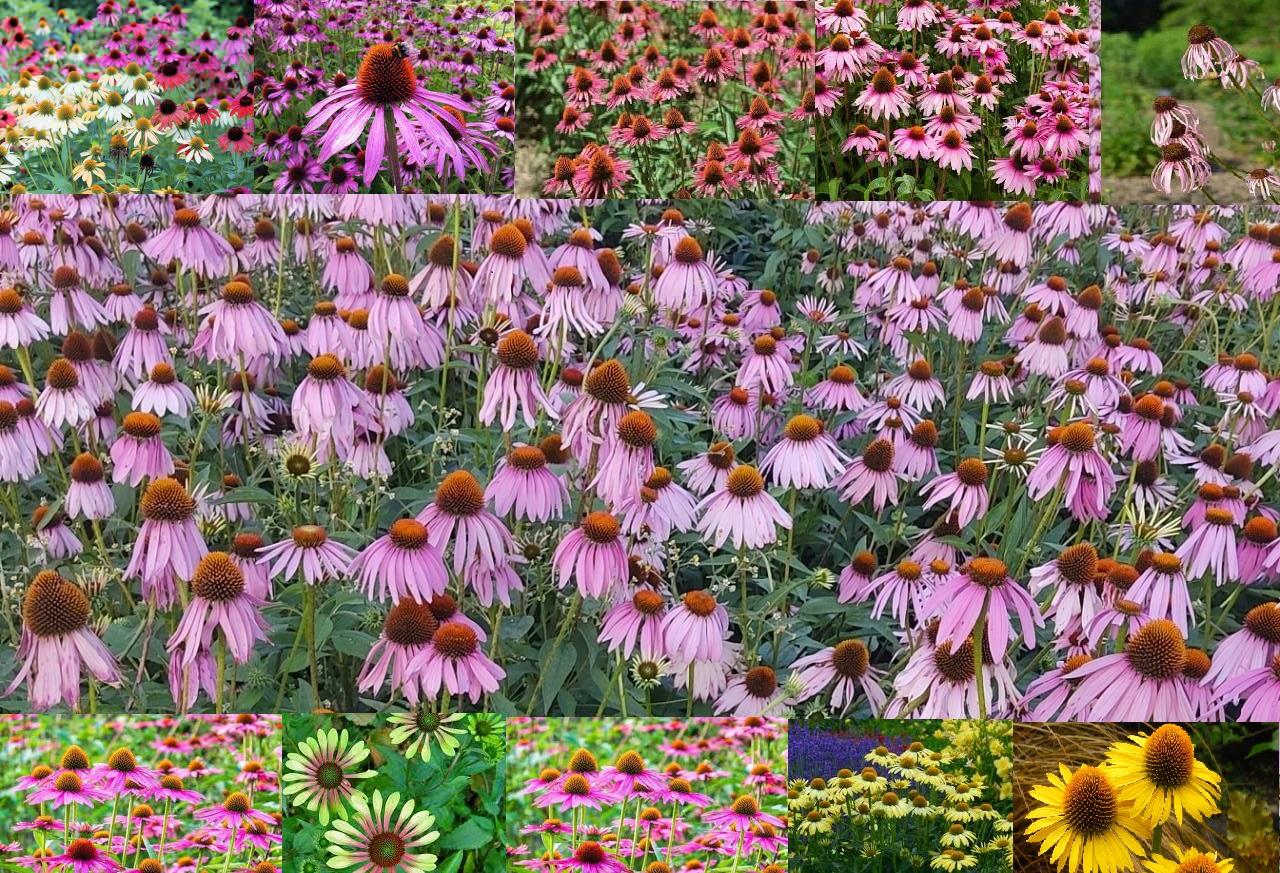 Echinacea purpurea seeds in Kashmir